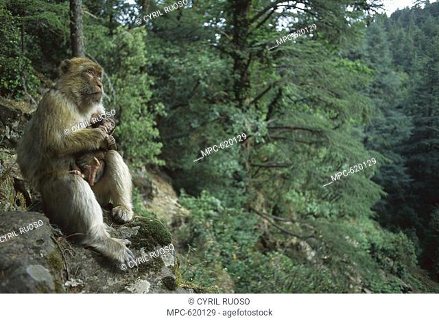 Barbary Macaque Macaca sylvanus, adult female holding her infant, spring, Middle Atlas Mountains, Morocco