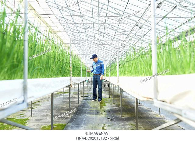 Senior man checking vegetables quality in greenhouse