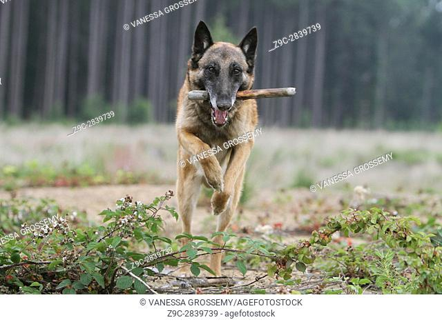 Dog Belgian shepherd Malinois