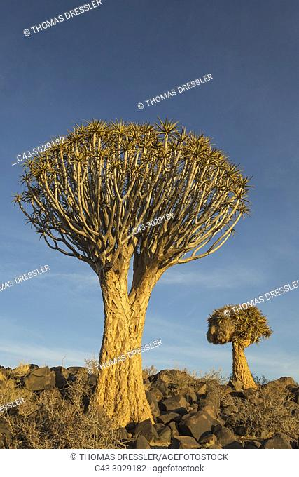 Quiver tree (Aloe dichotoma). Formerly the hollowed out branches of these trees were used as quivers by the Bushmen. Quiver Tree forest near Keetmanshoop