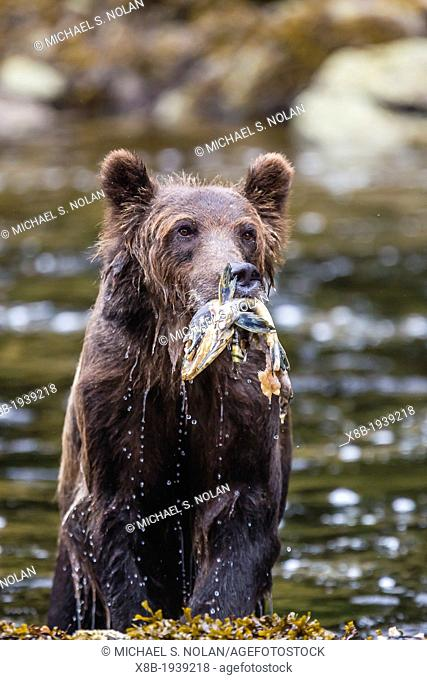 Young adult brown bear (Ursus arctos) feeding on pink salmon at Pavlof Harbor on Chichagof Island, Southeast Alaska, USA
