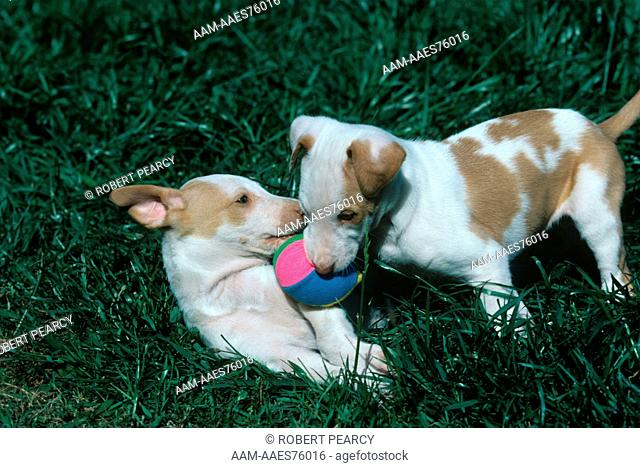 Ibizan Hound pups playing
