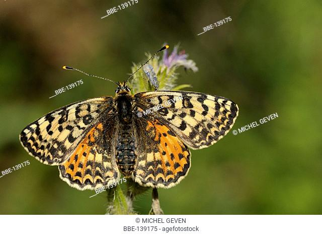 Warming Spotted Fritillary, upwing view