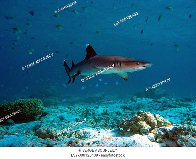junger Weissspitzenriffhai