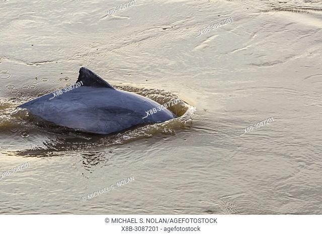 Adult gray dolphin, bufeo griÌ. s, Sotalia fluviatilis, Amazon National Park, Loreto, Peru