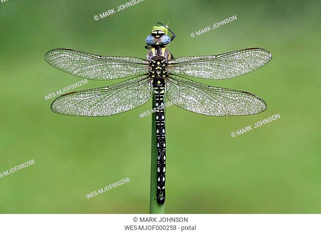 Hairy dragonfly, Brachytron pratense in front of green background, close-up