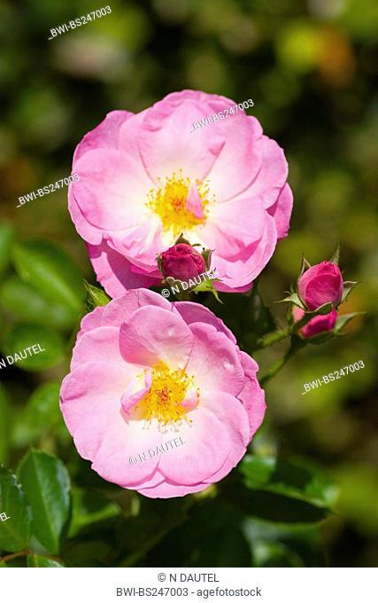 ornamental rose Rosa 'Shalom', Rosa Shalom, cultivar Shalom