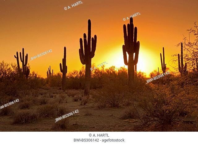 saguaro cactus (Carnegiea gigantea, Cereus giganteus), group at sunset, USA, Arizona, Phoenix