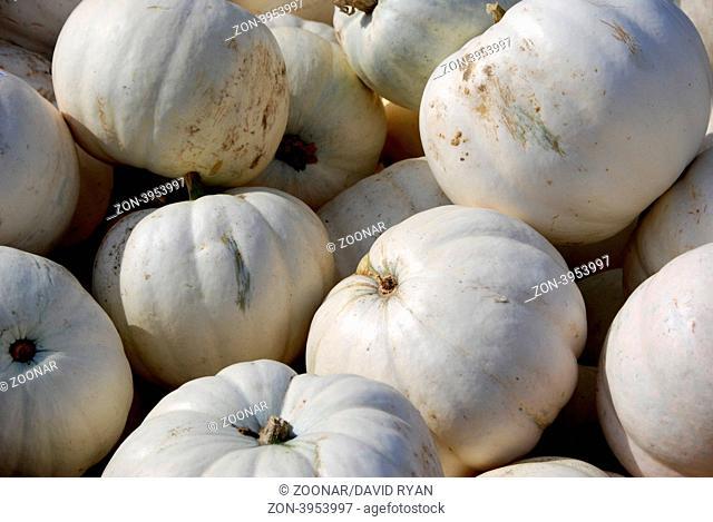 USA, Idaho, Boise, White Pumpkins (Cucurbita pepo)