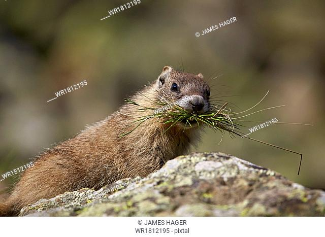 Young yellow-bellied marmot (yellowbelly marmot) (Marmota flaviventris) with grass in its mouth, San Juan National Forest, Colorado, United States of America