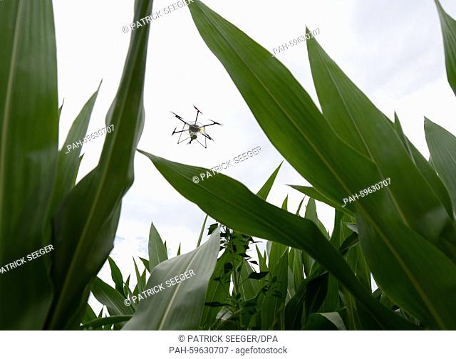 A drone flies over a corn field and distributes ichneumon fly eggs in Friesenheim, Germany, 29 June 2015. The ichneumon flies fight the dreaded corn moths which...