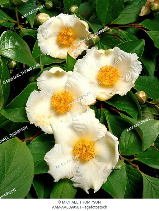 Japanese Stewartia (S. pseudocamellia), deciduous Tree w/early Summer Blooms