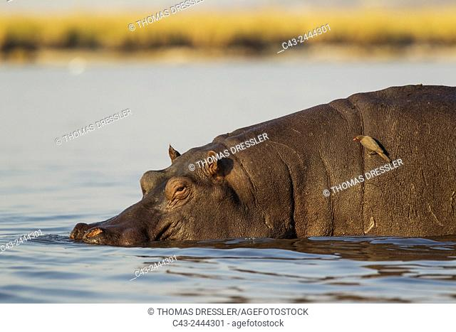 Hippopotamus (Hippopotamus amphibius) - Bull just entered the Chobe River. On its back a Red-billed Oxpecker (Buphagus erythrorhynchus)