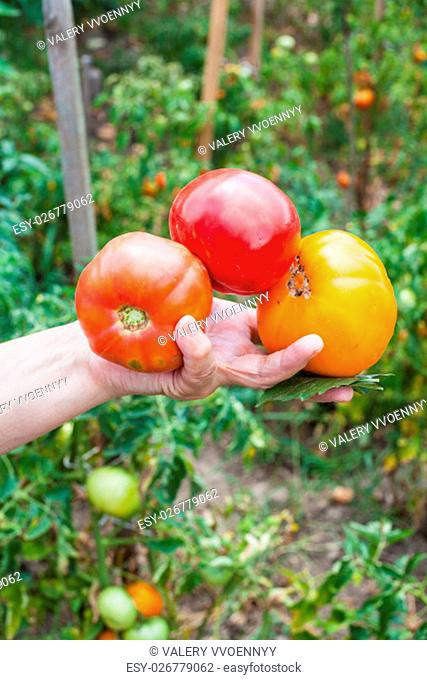 female hand holds ripe tomatoes and basil leaves with vegetable garden on background