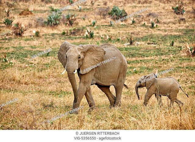 African bush elephant, Loxodonta africana, Murchison Falls National Park, Uganda, Africa - Uganda, 10/02/2015
