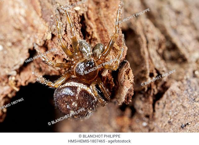 France, Indre et Loire, Araneae, Theridiidae, Common false widow (Steatoda bipunctata), immature male