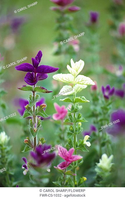 Salvia viridis, Sage, Annual clary sage, Mixed colours subject