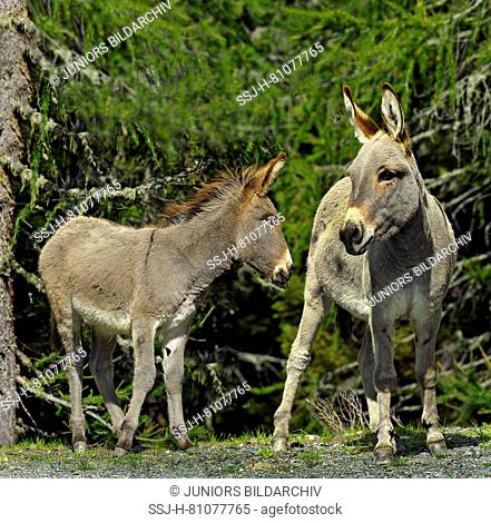 Domestic Donkey, Ass. Mother and foal standing on alpine pasture, next to Larch forest. Dolomites, South Tyrol, Italy