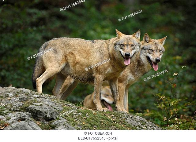 jaeger, Bavaria, Bavarian, bawl, canis, carnivore, communication