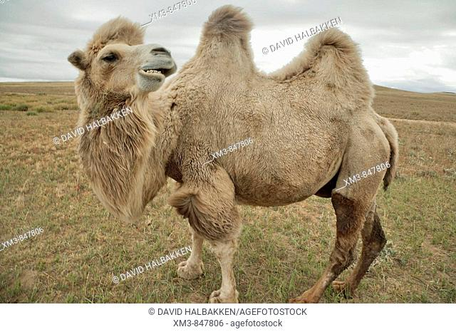 Two Humped Camel North Central Mongolia The Is Bactrian