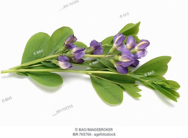 Blue Wild Indigo, Blue False Indigo (Baptisia australis), medicinal plant
