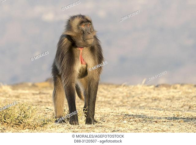 Africa, Ethiopia, Rift Valley, Debre Libanos, Gelada or Gelada baboon (Theropithecus gelada),  in the evening at the edge of the cliff before descending to...