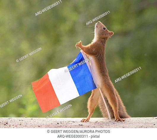 Cute scene with single red squirrel holding miniature French flag, Bispgarden, Jamtland, Sweden