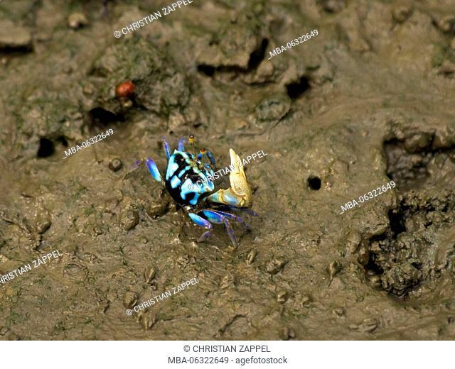 Fiddler crab, Uca tetragonon, Thailand