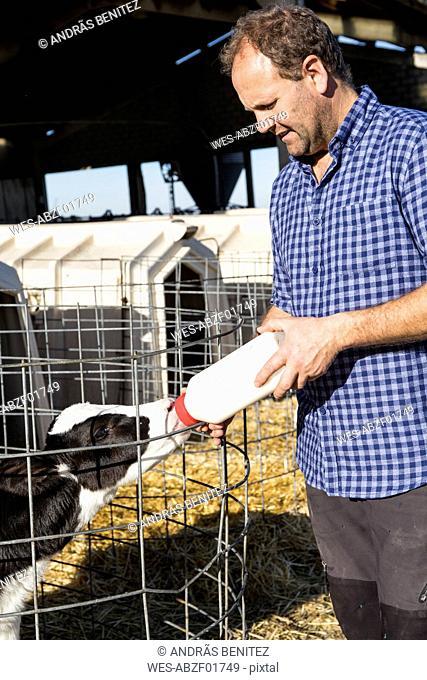 Farmer feeding calf in stable