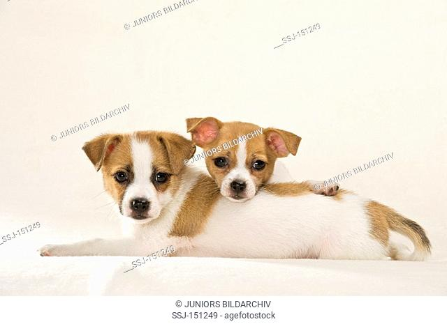 two half breed dog puppies - lying - cut out restrictions: animal guidebooks, calendars