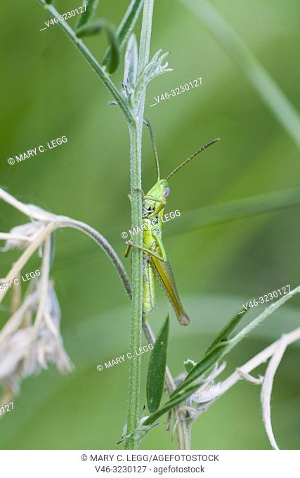 Small Gold Grasshopper, Euthystira brachyptera a short-horned medium-sized grasshopper 15-26mm length. Grass green with gold highlights on underlegs