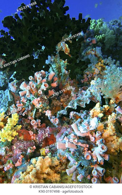 Colorful reef overgrown with Cauliflower soft coral (Scleronephthya sp.), Graceful Corals (Dendrophyllia gracilis)with corals and Honeycomb oyster (Hyotissa...