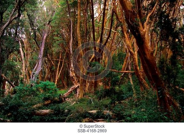 Argentina, Near Bariloche, Lake Nahuel Huapi, Quetrihue Peninsula, Arrayanes Trees
