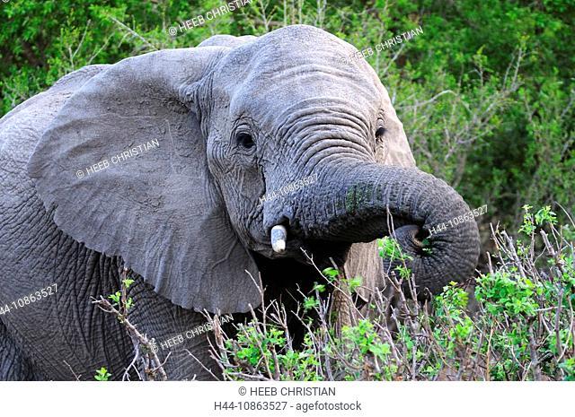 Elephant, Loxodonta africana africana, Ulusaba Sir Richard Branson's Private Game Reserve, Sabi Sands Game Reserve, Mpumalanga, South Africa