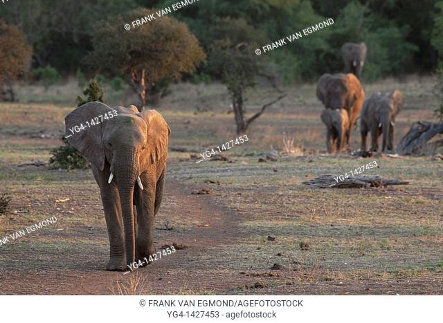 African Elephant herd Loxodonta africana  Vulnerable species   The elephant herds at Mashatu often walk in a single colum and use the paths frequentyly