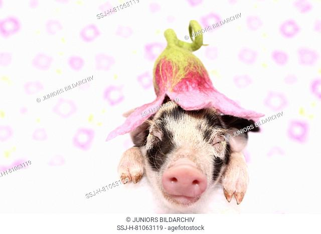 Domestic Pig, Turopolje x ?. Piglet sleeping on a white blanket, wearing a flower-shaped hat. Studio picture seen against a white background with flower print