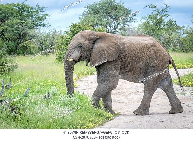 An elephant walking on a dirt path at Etosha National Park, located in Namibia, Africa