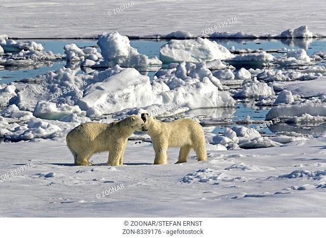 Eisbär auf Packeis, Spitzbergen, Norwegen, Europa / Polar Bear on pack ice, Spitsbergen, Norway / EuropeUrsus maritimus