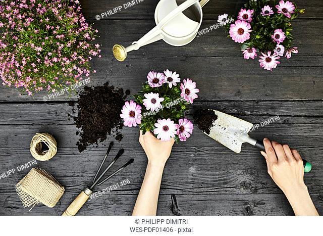 Woman's hands potting plant