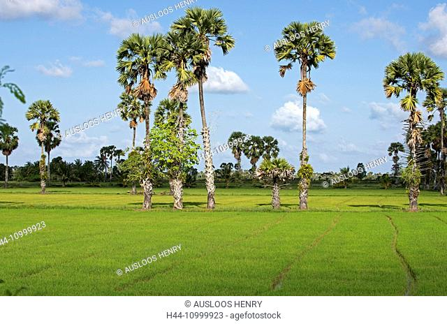 Thailand, South, Patthalung, Palm trees in the midden of rice paddies