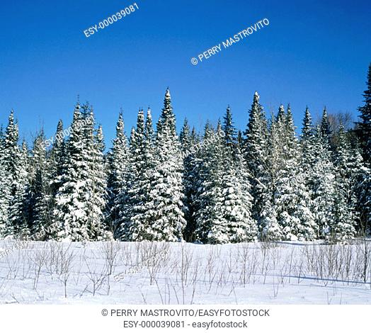Forest in winter. Mont Tremblant. Quebec. Canada