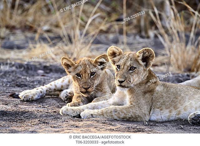 Two African lion cubs resting together (Panthera leo) South Luangwa National Park, Zambia