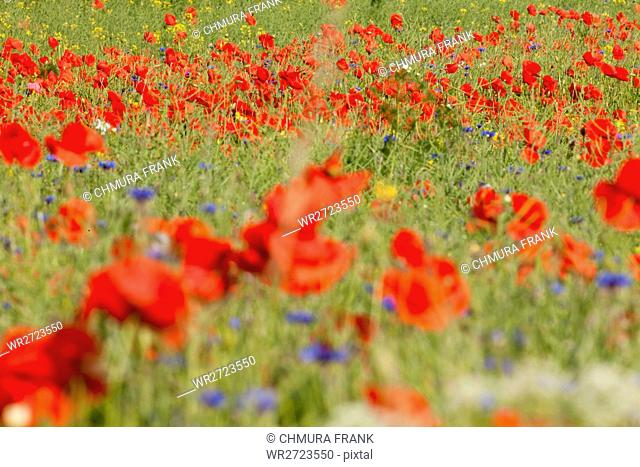 beautiful, beauty, blooming, blossom, colourful, cornflower, country, countryside, daisy, flower, flowers, meadow, nature, outdoor, plant, poppy, poppies, red