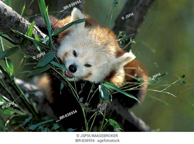 Red or Lesser Panda, Firefox (Ailurus fulgens fulgens), adult in a tree, feeding on greens, native to Asia