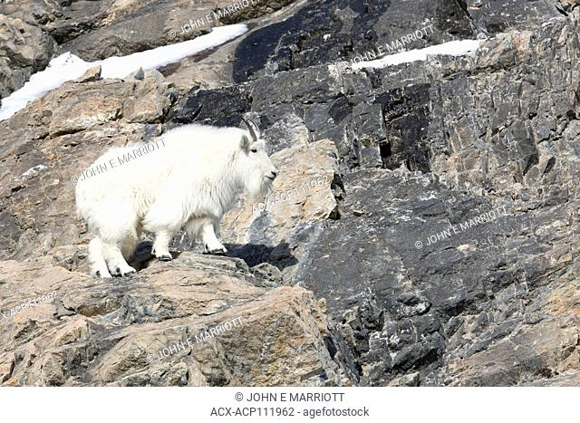 Mountain goat, Oreamnos americanus, Rocky Mountains, Alberta, Canada