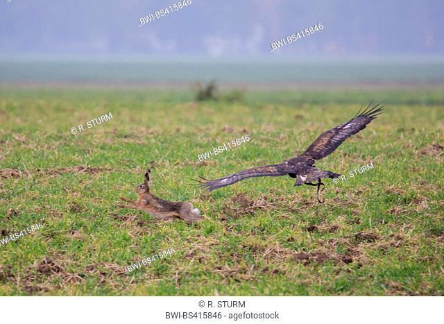 golden eagle (Aquila chrysaetos), hunts a hare, Germany, Bavaria