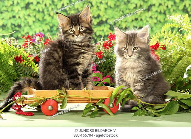 Maine Coon cat - two kittens - sitting