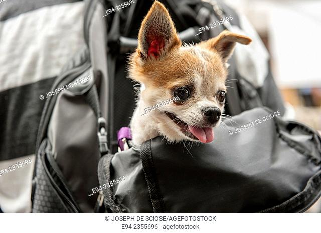 A Chihuahua dog, with its head sticking out of a backpack on a persons back