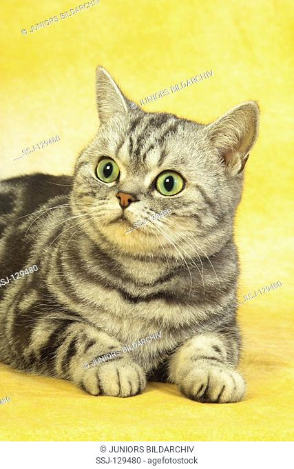 British Shorthair cat - lying - cut out