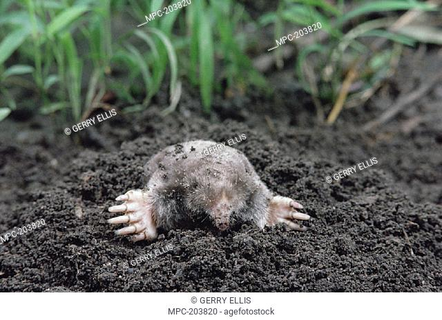 EASTERN MOLE (Scalopus aquaticus), NORTH AMERICA, Stock Photo